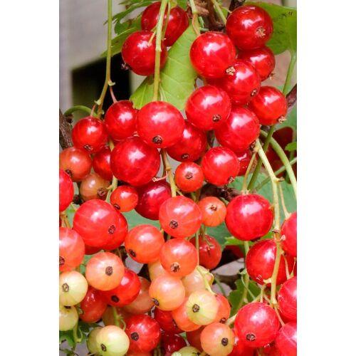 BCM Obstpflanze »Johannisbeere Rolan«, Höhe: 30-40 cm, 2 Pflanzen