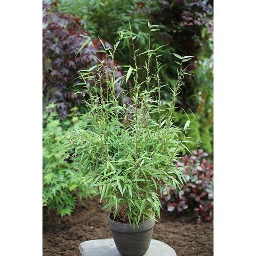 BCM Hecken »Rufa Bambus«, Höhe: 60-80 cm, 3 Pflanzen