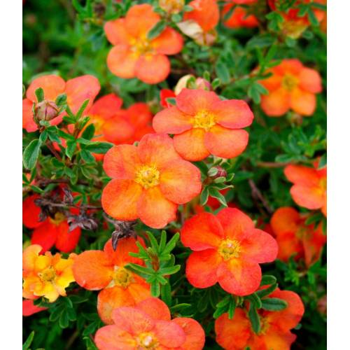 BCM Staude »Fingerstrauch Red Ace«, 3 Pflanzen