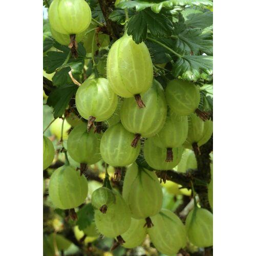 BCM Obstpflanze »Stachelbeere«, grün