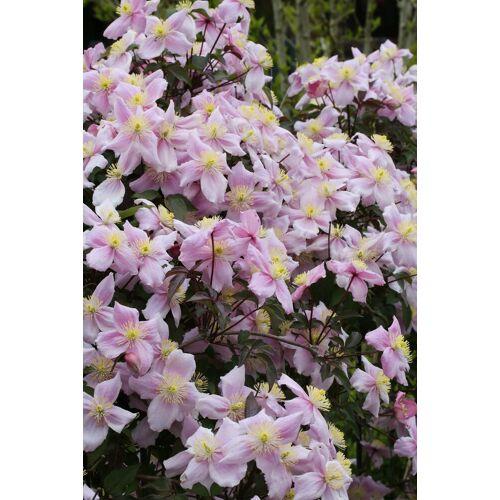 BCM Kletterpflanze »Waldrebe rosa«, Lieferhöhe: ca. 80 cm, 1 Pflanze