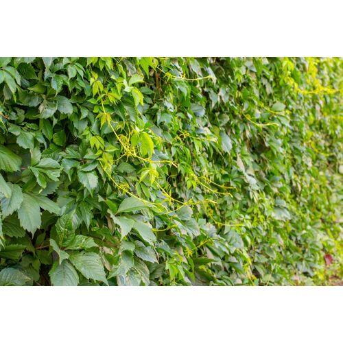 BCM Kletterpflanze »Wilder Wein inserta«, Lieferhöhe ca. 60 cm, 1 Pflanze