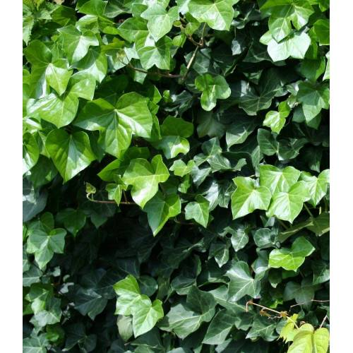 BCM Gehölze »Großblättriger Efeu«, 2 Pflanzen