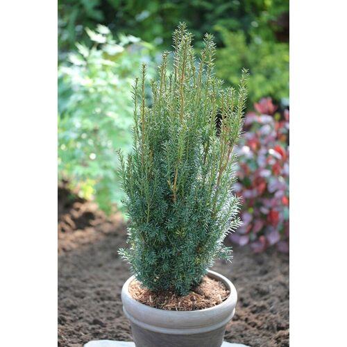 BCM Hecken »Eibe Hillii«, Höhe: 60-80 cm, 2 Pflanzen
