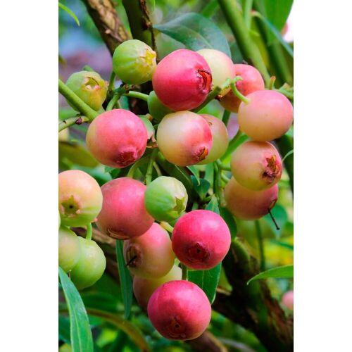 BCM Obstpflanze »Heidelbeere Pink Limonade«, Höhe: 30-40 cm, 2 Pflanzen