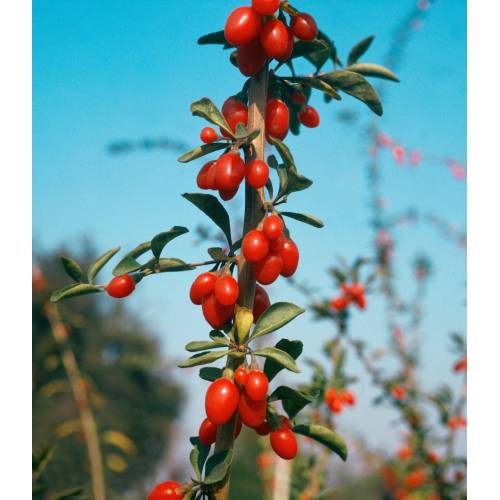 BCM Obstpflanze »Gojibeere«