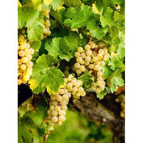 BCM Obstpflanze »Wein weiß«, Lieferhöhe: ca. 60 cm, 1 Pflanze