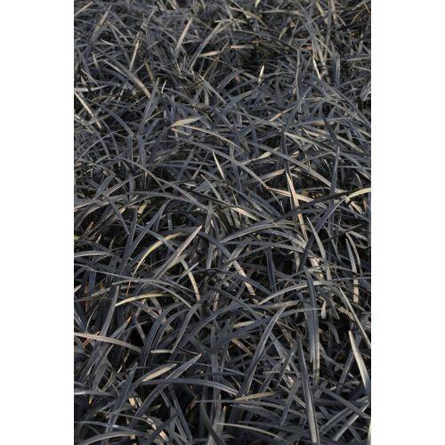 BCM Staude »Schlangenbart Gras«