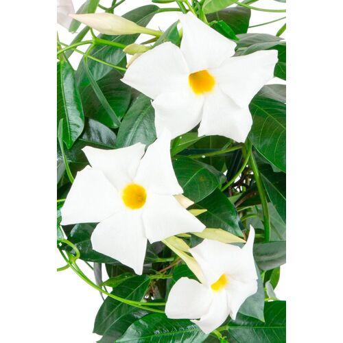 BCM Beetpflanze »Jade White«, Höhe: 45 cm