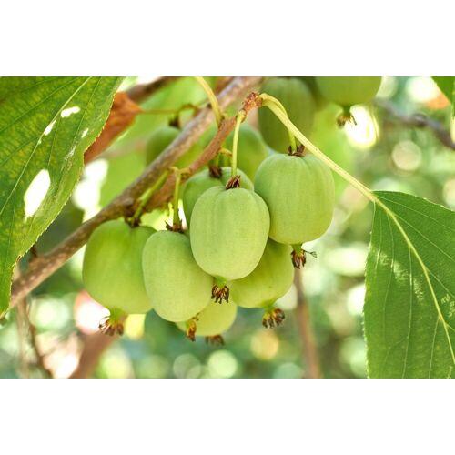 BCM Obstpflanze »Kiwi arguta« Spar-Set, Lieferhöhe: ca. 60 cm, 2 Pflanzen