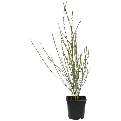 BCM Beetpflanze »Ginster« Spar-Set, Lieferhöhe ca. 40 cm, 2 Pflanzen