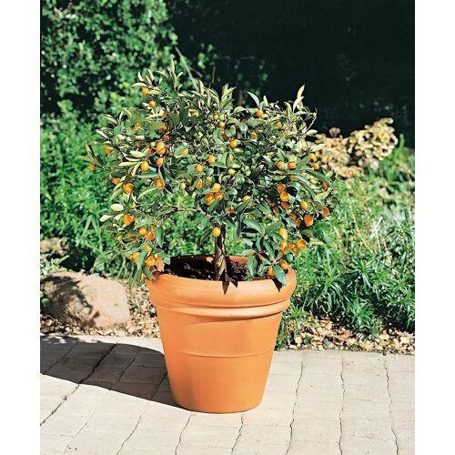 BCM Zitronenbaum »Kumquat«