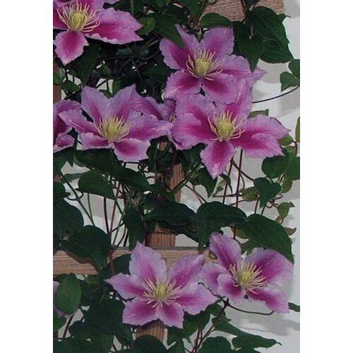 BCM Beetpflanze »Clematis Piilu«, 2 Pflanzen