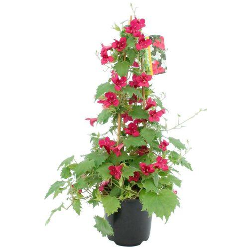 BCM Beetpflanze »Trompetenwinde«, rot, Höhe: 70 cm
