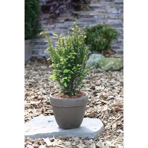 BCM Hecken »Eibe Taxus baccata«, Höhe: 20-25 cm, 3 Pflanzen