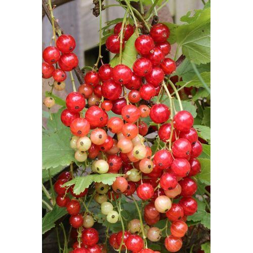 BCM Obstpflanze »Ribes rubrum Rolan«, Lieferhöhe: ca. 15 cm, 1 Pflanze