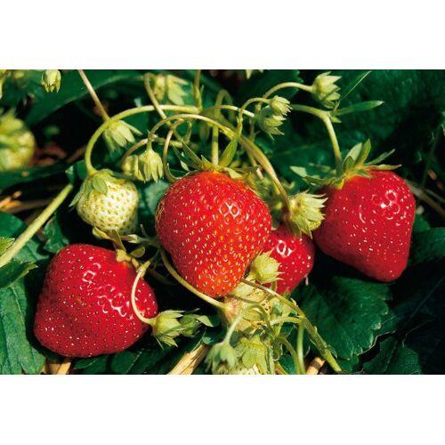 BCM Obstpflanze »Erdbeere Mara des Bois«