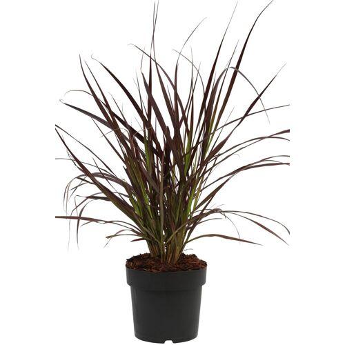 BCM Gräser »Lampenputzergras x advena 'Rubrum'«, Lieferhöhe ca. 40 cm, 1 Pflanze