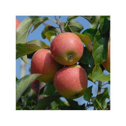 Apfel Pinova®, 1 Buschbaum im 5 Liter Topf, ca.100 cm