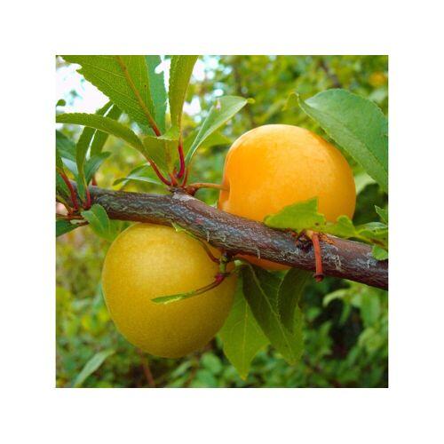 - Japanische Pflaume 'Shiro', 1 Buschbaum