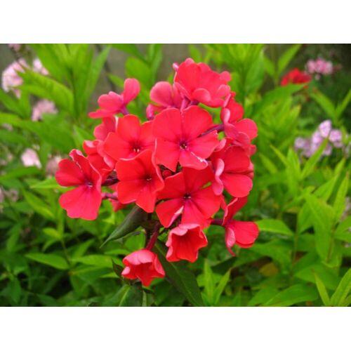 Hoher Staudenphlox, rot blühend, 2 Pflanzen im 1 Liter Topf