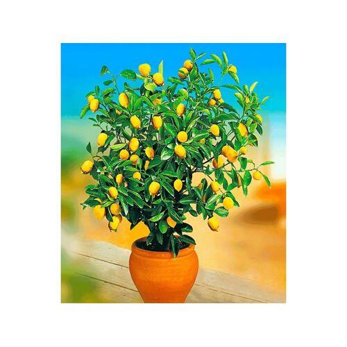 wolfcraft® Zitronen-Bäumchen,1 Pflanze Citrus limon Zitruspflanze