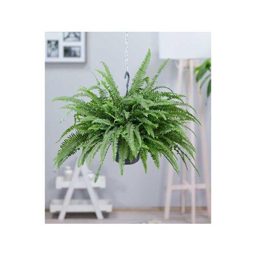 - Hängepflanze Schwertfarn,1 Pflanze