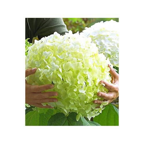 Freiland-Hortensien 'Incrediball®', 1 Pflanze, Hydrangea arborescens
