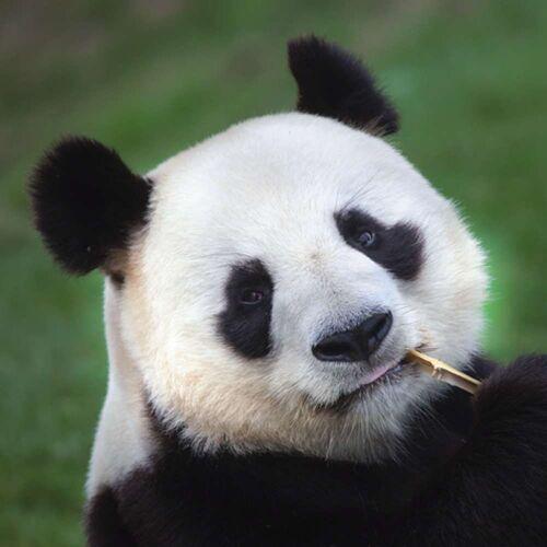 Linoows Papierserviette »20 Servietten, Panda Bär, Panda Portrait mit Bambu«, Motiv Panda Bär, Panda Portrait mit Bambus Halm