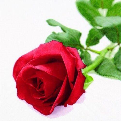 Linoows Papierserviette »20 Servietten, Edle Rote Rose, Die Königin der«, Motiv Edle Rote Rose, Die Königin der Blumen