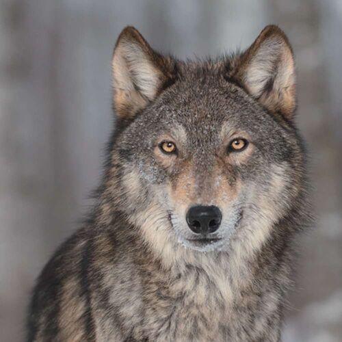 Linoows Papierserviette »20 Servietten, Europäischer Grauwolf, Wolf Portrai«, Motiv Europäischer Grauwolf, Wolf Portrait