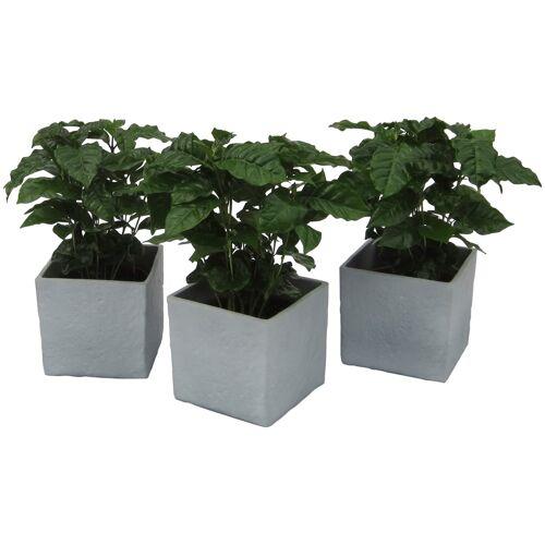 DOMINIK Zimmerpflanze Kaffee-Pflanzen Höhe: 30 cm 3 Pflanzen in Dekotöpfen  grau