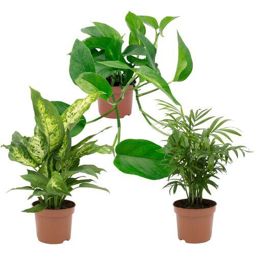 DOMINIK Zimmerpflanze Grünpflanzen-Set Höhe: 30 cm 3 Pflanzen