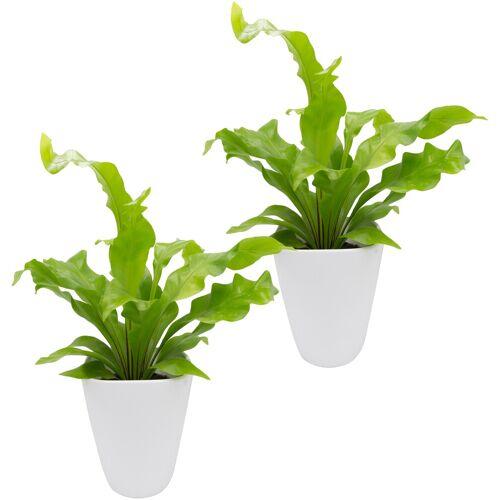 DOMINIK Zimmerpflanze Farnpflanzen Höhe: 15 cm 2 Pflanzen in Dekotöpfen  weiß