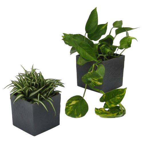 DOMINIK Zimmerpflanze Grünpflanzen-Set Höhe: 15 cm 2 Pflanzen in Dekotöpfen  grau