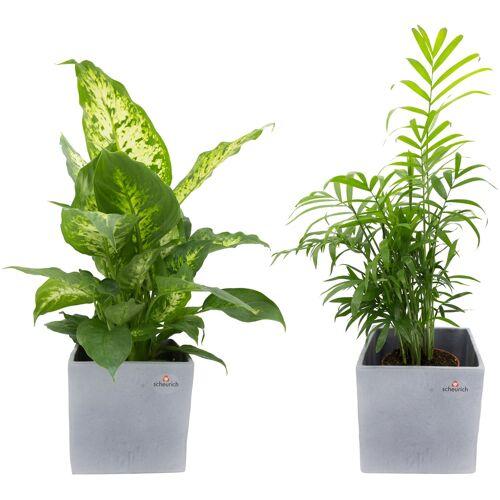 DOMINIK Zimmerpflanze Grünpflanzen-Set Höhe: 30 cm 2 Pflanzen in Dekotöpfen  grau