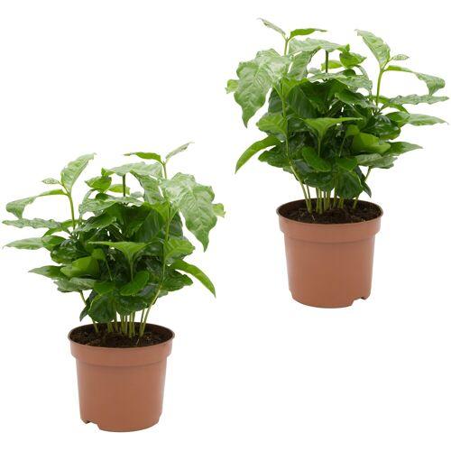 DOMINIK Zimmerpflanze Kaffee-Pflanzen Höhe: 15 cm 2 Pflanzen