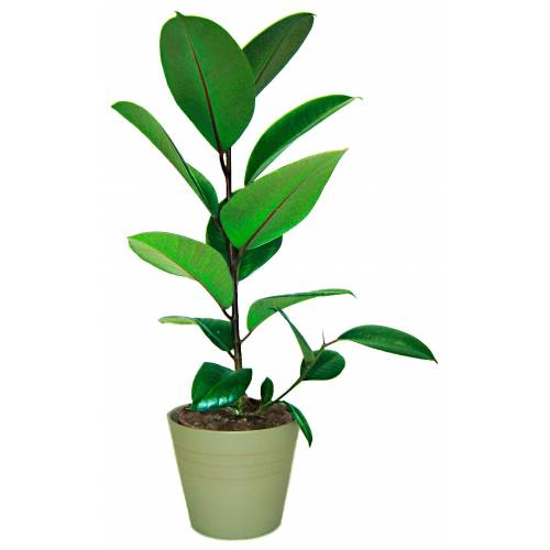 BCM Zimmerpflanze Gummibaum 1 St. grün Zimmerpflanzen Pflanzen Garten Balkon