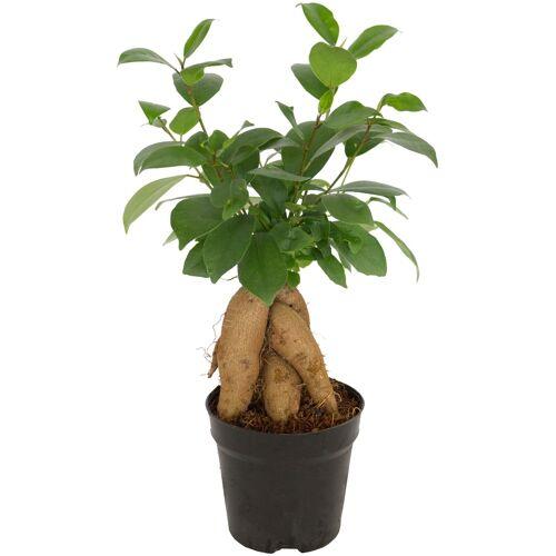 Dominik Zimmerpflanze Ginseng-Feige, Höhe: 15 cm, 1 Pflanze St. grün Pflanzen Garten Balkon