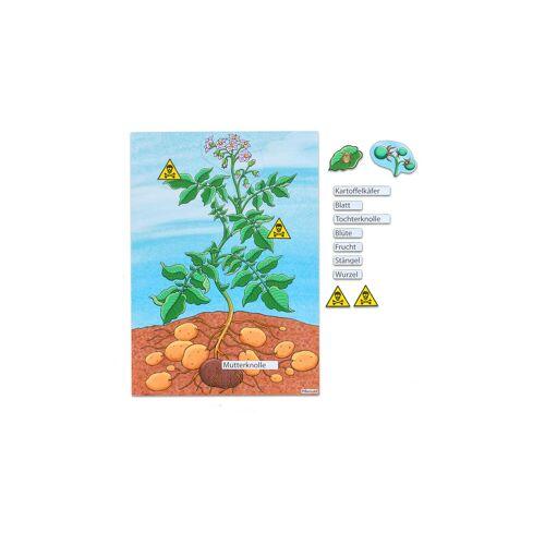 Betzold Die Kartoffelpflanze