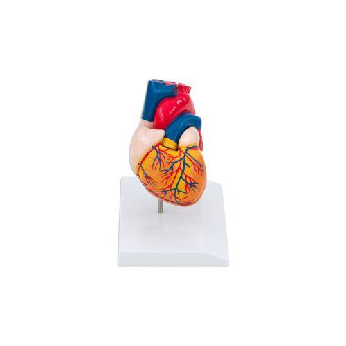 Erler Zimmer Menschliches Herzmodell