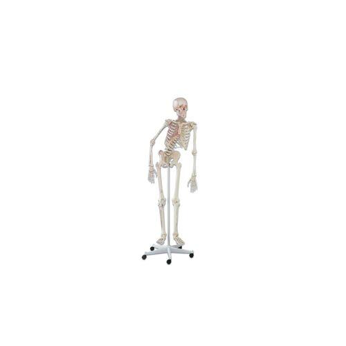 Erler Zimmer Skelett mit Muskelmarkierungen