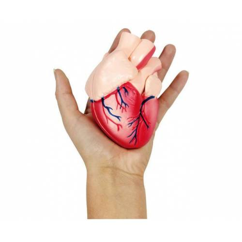 Betzold Kleines Herzmodell
