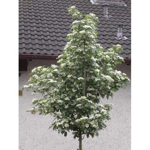 Westfalia Apfeldorn Carrierei - Crataegus lavallei - 7 L Topf 80-100 cm