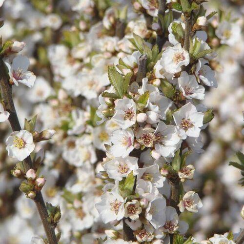 Westfalia Koreakirsche Filzkirsche - Prunus tomentosa - 7.5 L Topf 80-100 cm