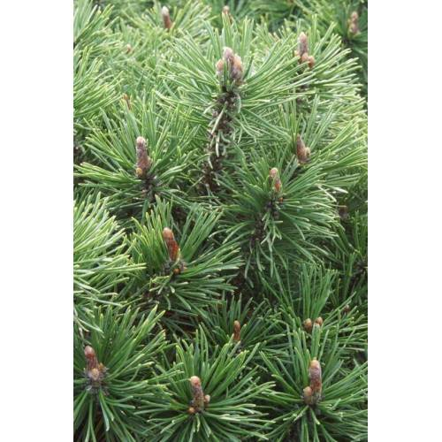 Westfalia Kugel-Kiefer Mops - Pinus mugo Mops  12L Topf, 40- 50 cm hoch