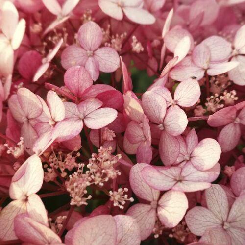 Westfalia Waldhortensie Hydrangea arborescens Pink Annabelle (Proven Winners) - 12 L Topf 80-100 cm