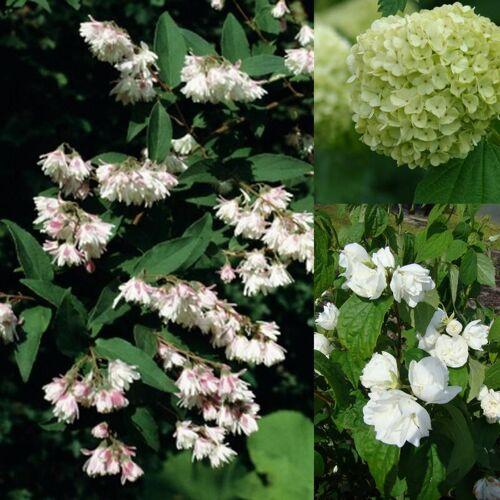 Westfalia Blütensträucher -Set- 4,6 L Topf Set 3 mit 3 Pflanzen