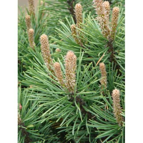 Westfalia Strauch-Kiefer Gnom - Pinus mugo Gnom  4,6L Topf  25- 30 cm hoch