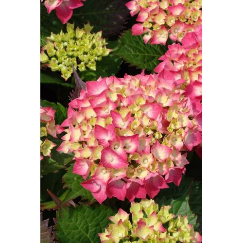 Westfalia Bauernhortensie rot Hydrangea macrophylla - 7.5 L Topf 40-60 cm